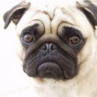 pug---indy-b_2865747